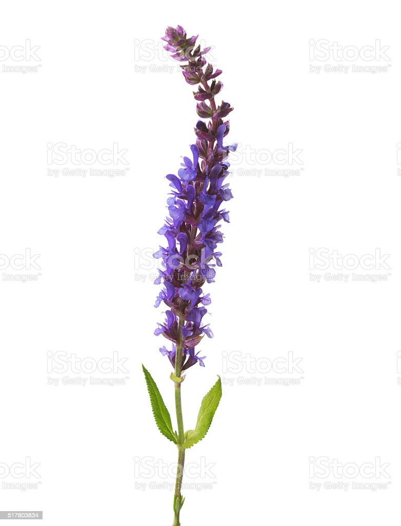 Flower of Meadow Sage. stock photo