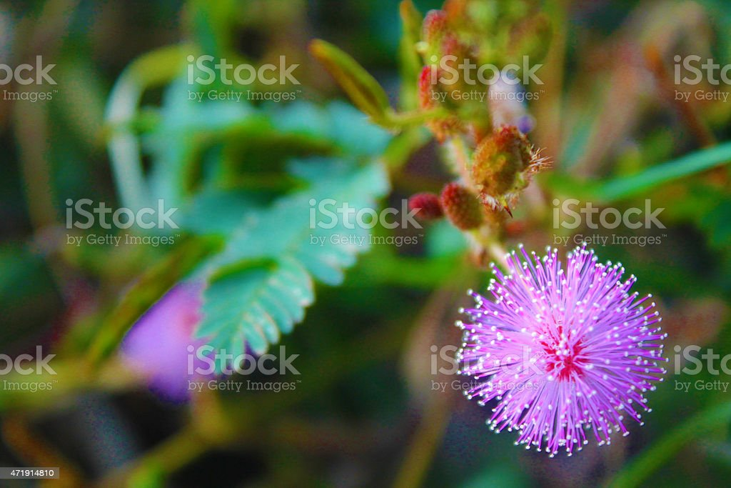 flower of mimosa pudica stock photo