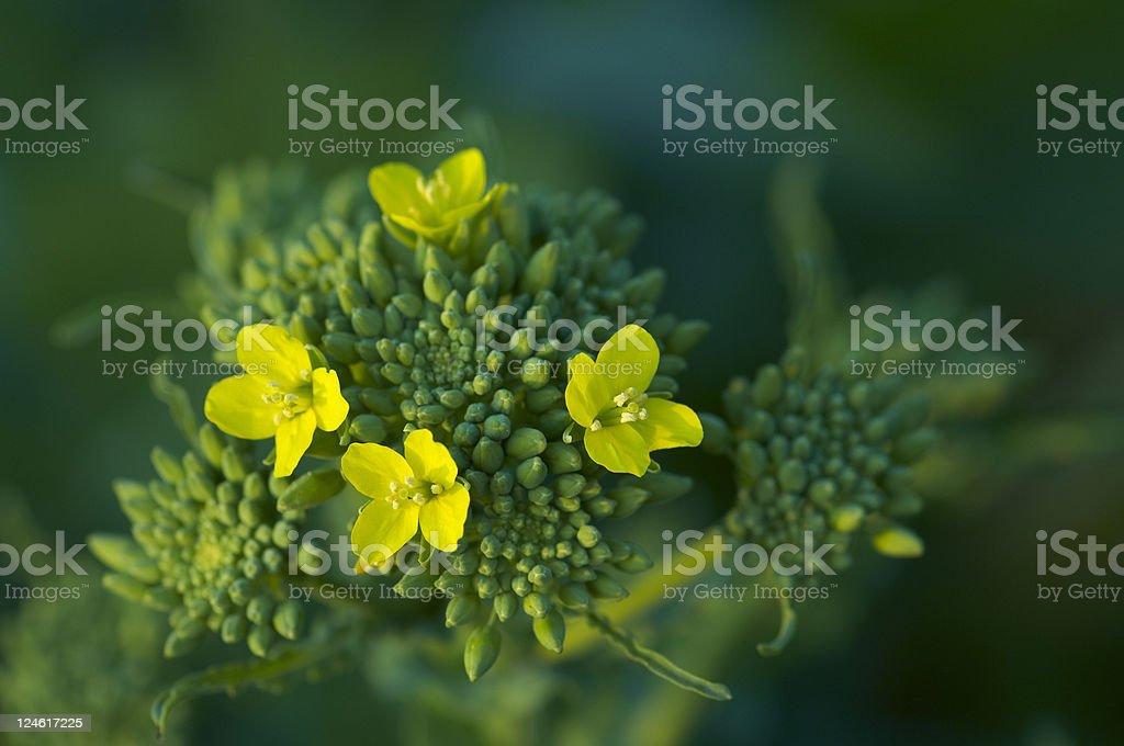 flower of rapini stock photo