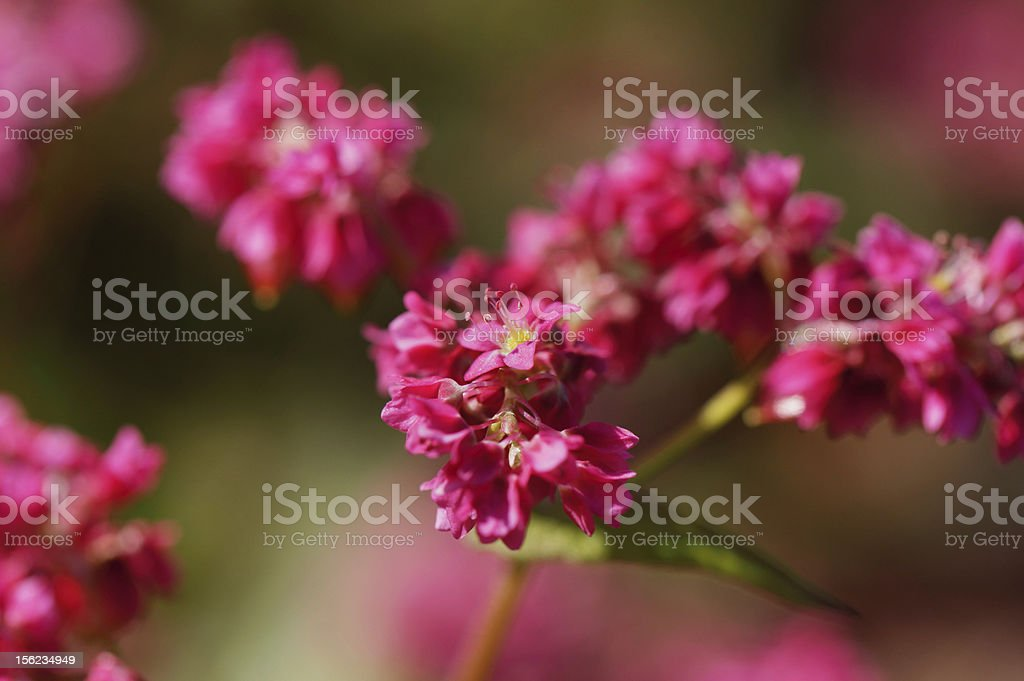 flower of red  buckwheat royalty-free stock photo