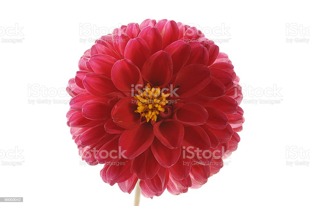 flower of red georgina royalty-free stock photo