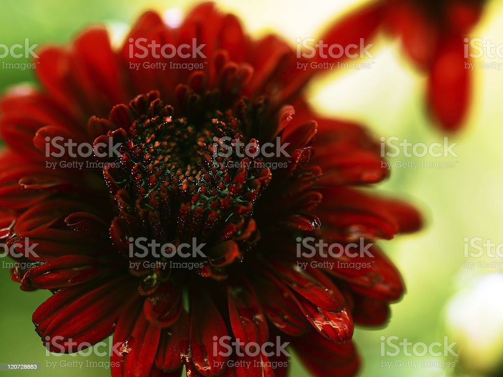 flower of red stock photo