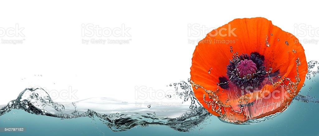 Flower of red poppy in a spray of water. stock photo