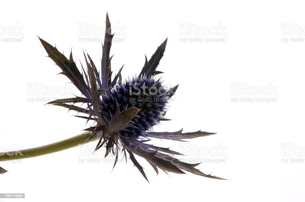 flower of scotland royalty-free stock photo