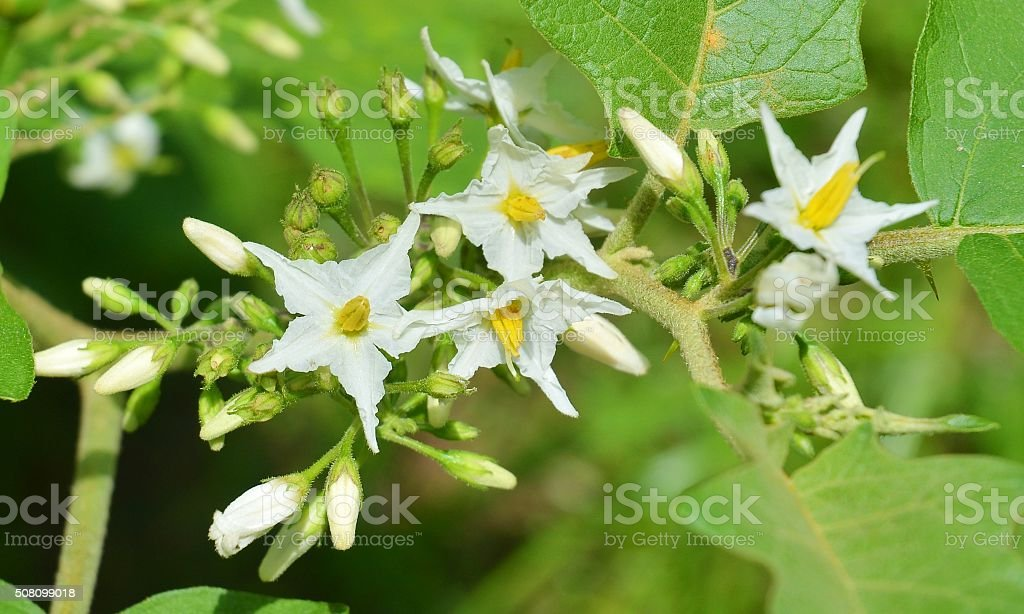 Flower of solanum torvum stock photo