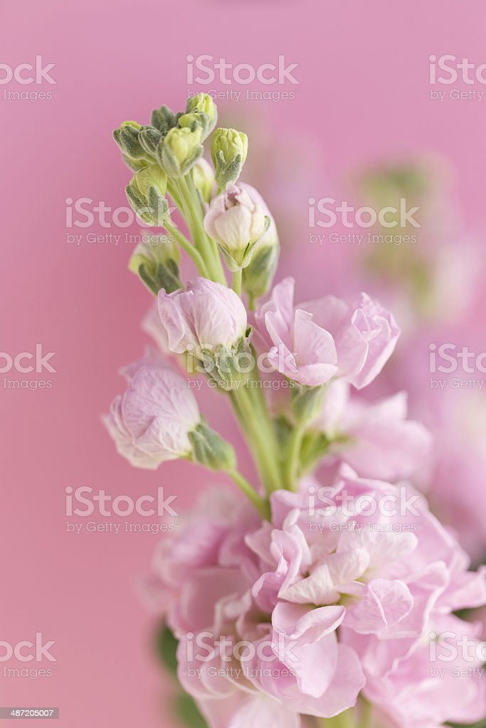 Flower of Stock royalty-free stock photo