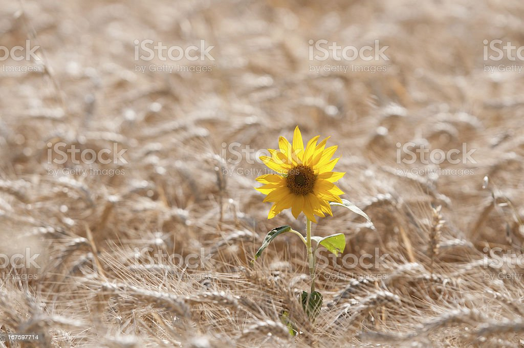 flower of sunflower in the middle field wheat royalty-free stock photo