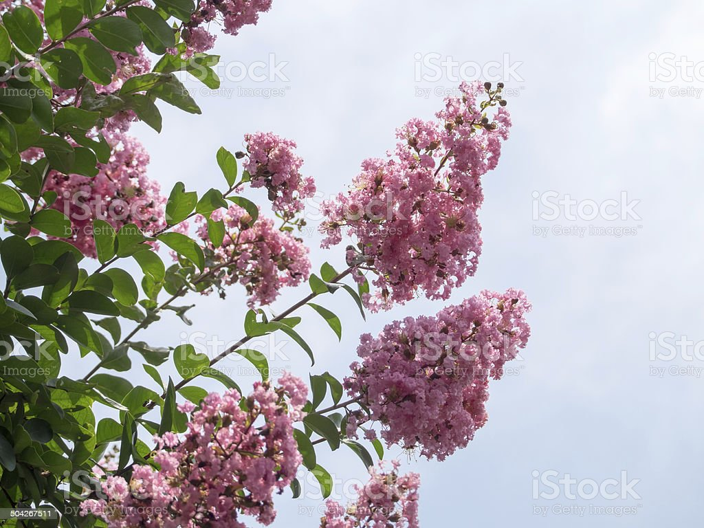 Flower of the pink crape myrtle stock photo