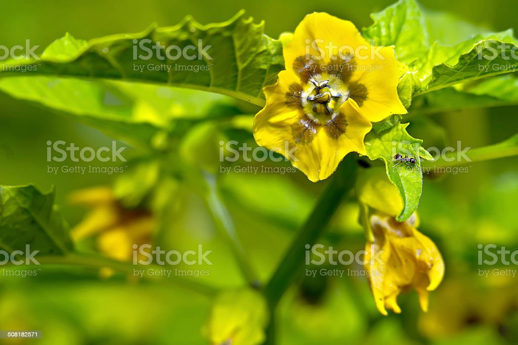 Flower of the plant physalis stock photo