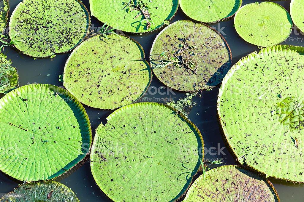 Flower of the Victoria Amazonica, or Victoria Regia stock photo