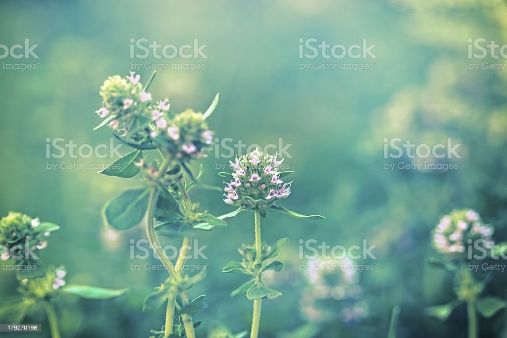 Flower of thyme royalty-free stock photo