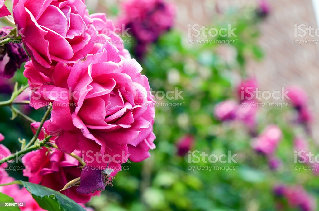 flower of wall stock photo