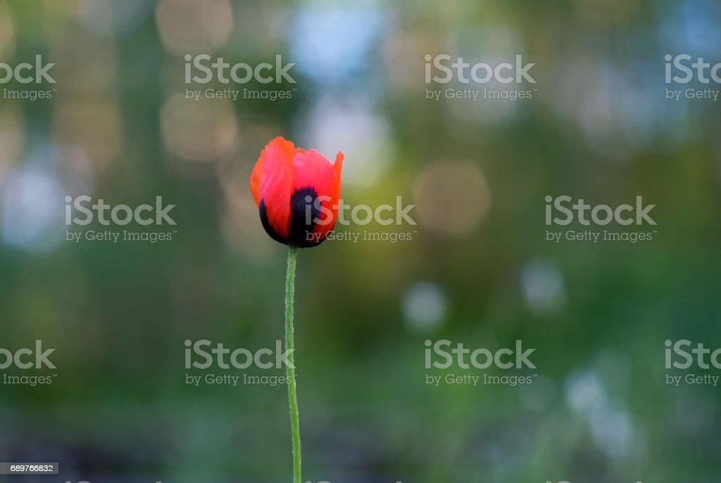 flower of wild red poppy on green background stock photo
