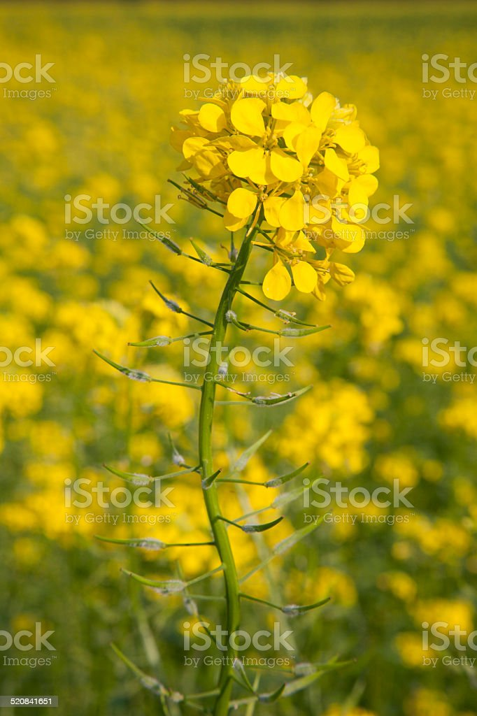 flower of yellow mustard seed in field stock photo
