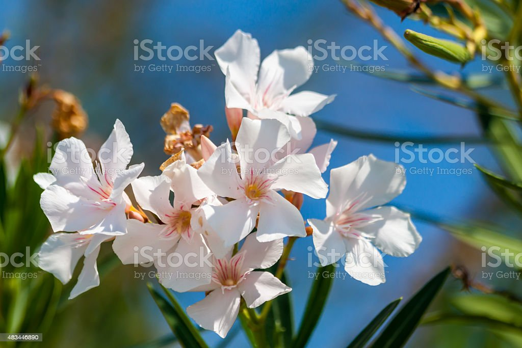 Flower oleander on the island of Thassos stock photo