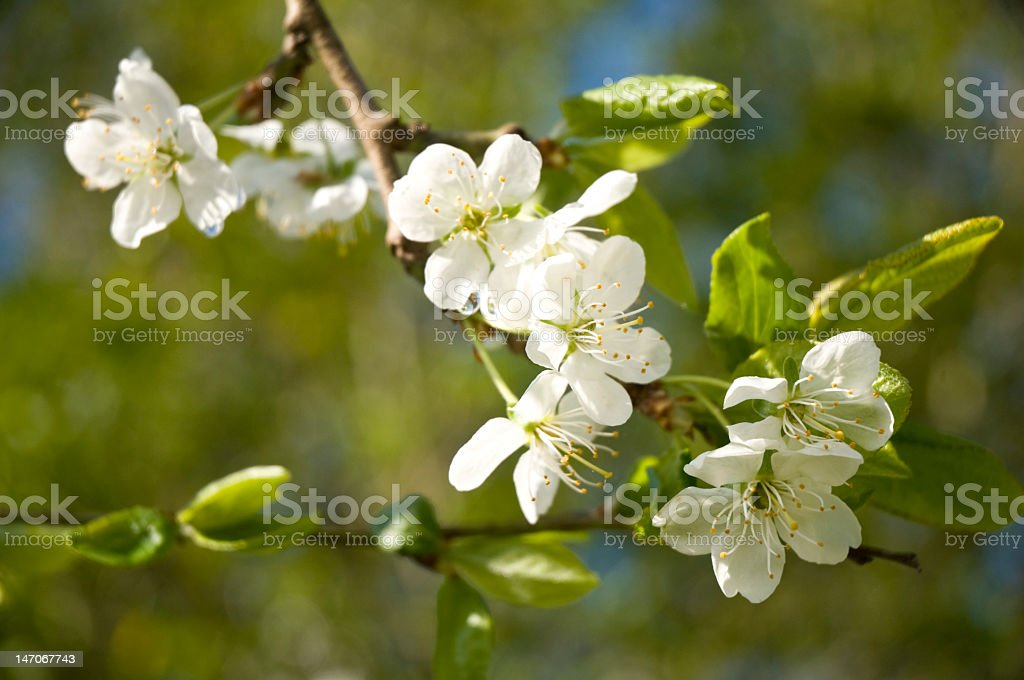 Flower on a plum tree royalty-free stock photo