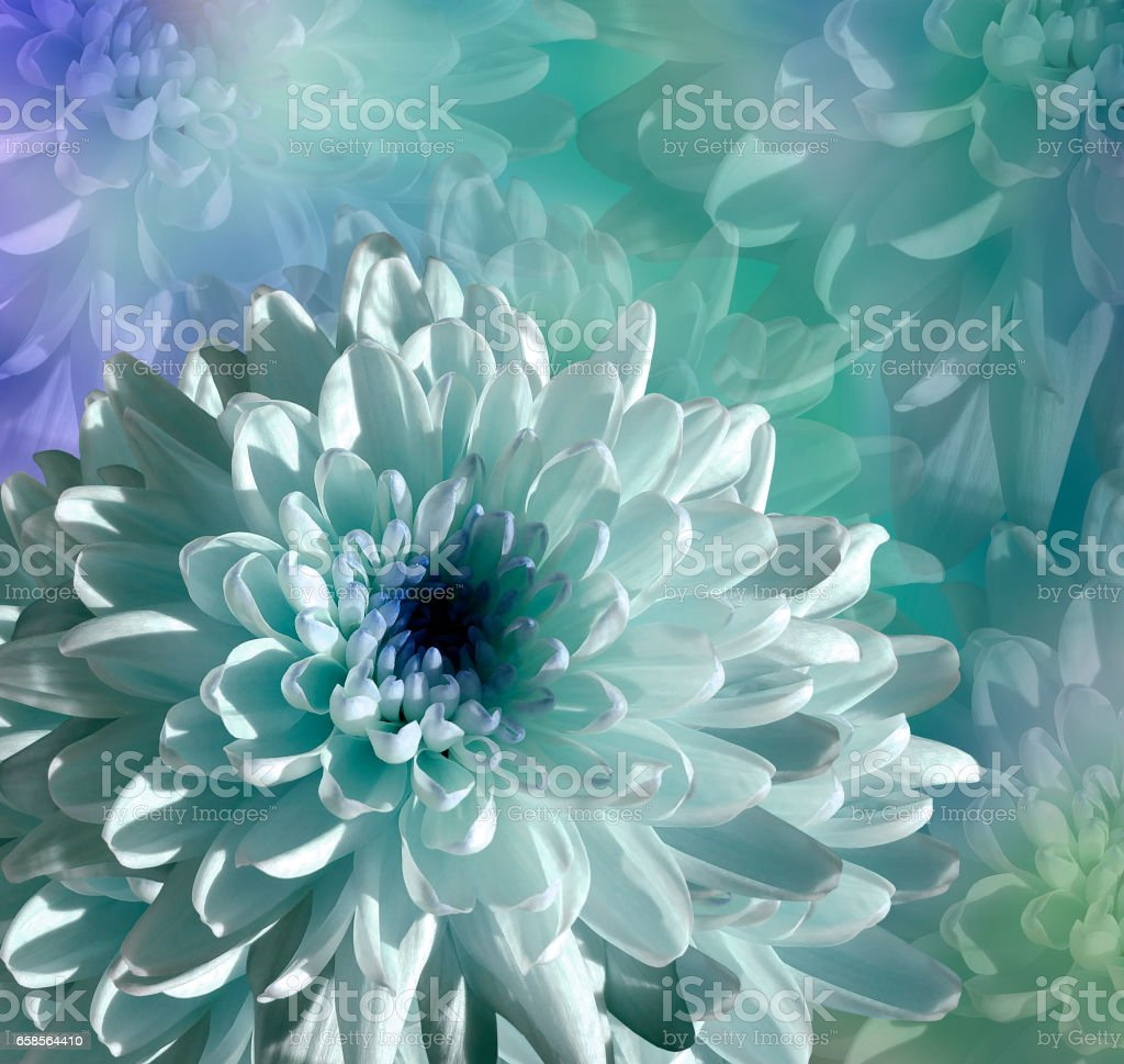 flower on  blue-turquoise background. white-blue  flower chrysanthemum.  floral collage.  Flower composition. Nature. stock photo