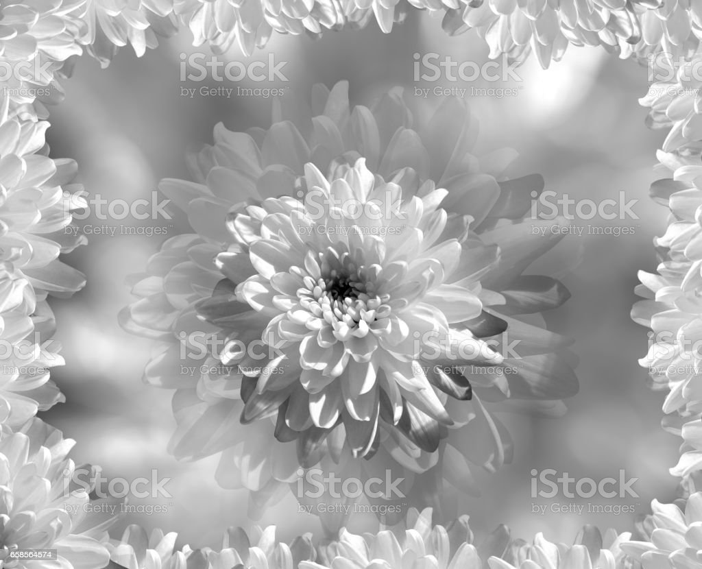 flower on blurry gray-white background bokeh. white  flowers chrysanthemum.  floral collage.  Flower composition. Nature.   'n stock photo