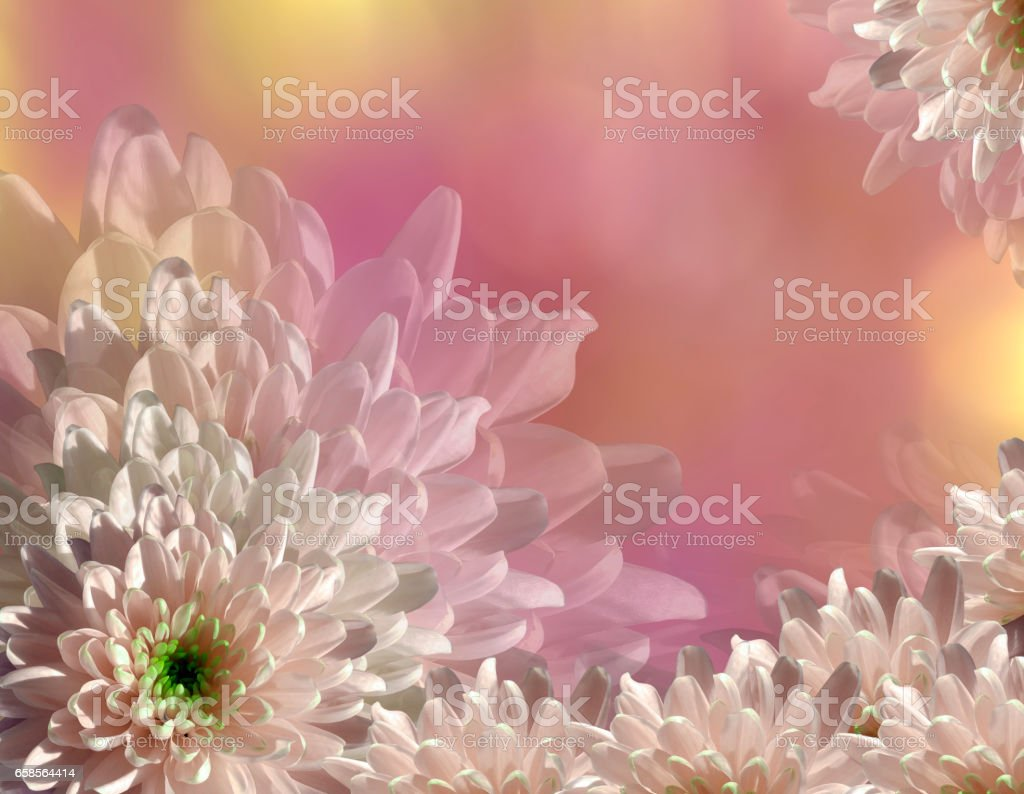 flower on blurry pink-yellow background bokeh. Pink-white  flowers chrysanthemum.  floral collage.  Flower composition. Nature. stock photo