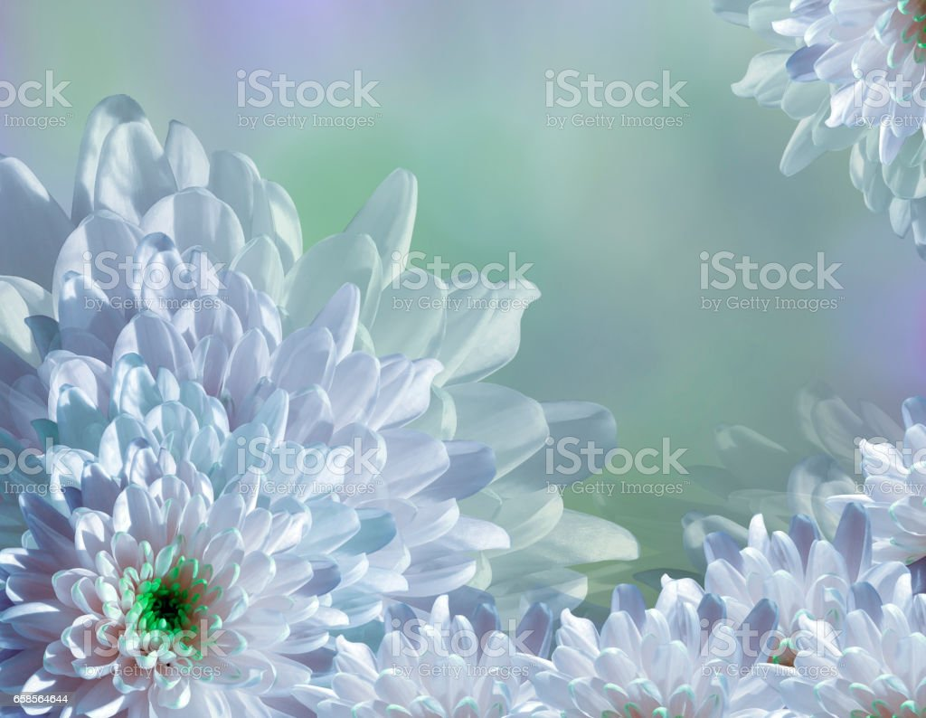 flower on blurry turquoise-blue-green background halftone. Blue-white  flowers chrysanthemum. stock photo