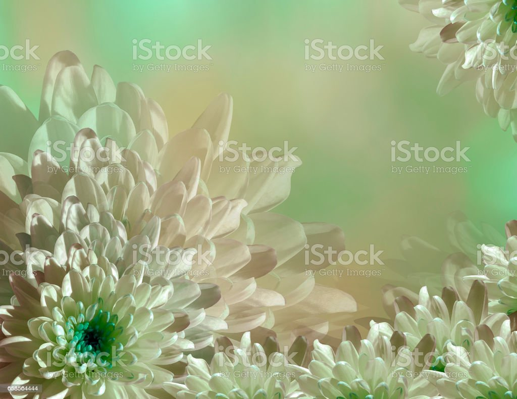 flower on blurry turquoise-green-pink background halftone. Blue-white  flowers chrysanthemum.  floral collage.  Flower composition. Nature. stock photo