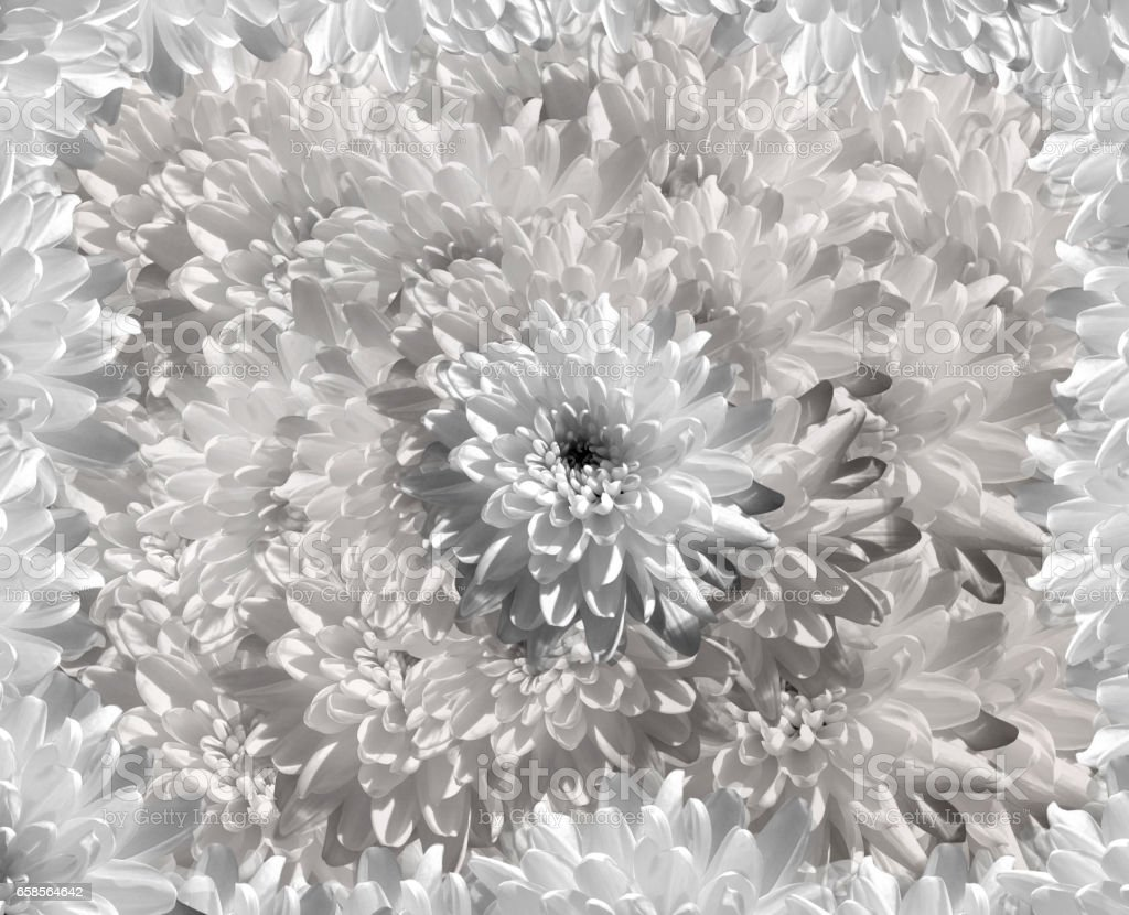 flower on  gray-white  background petals  chrysanthemum. white  flowers chrysanthemum.  floral collage.  Flower composition. Nature.   'n stock photo