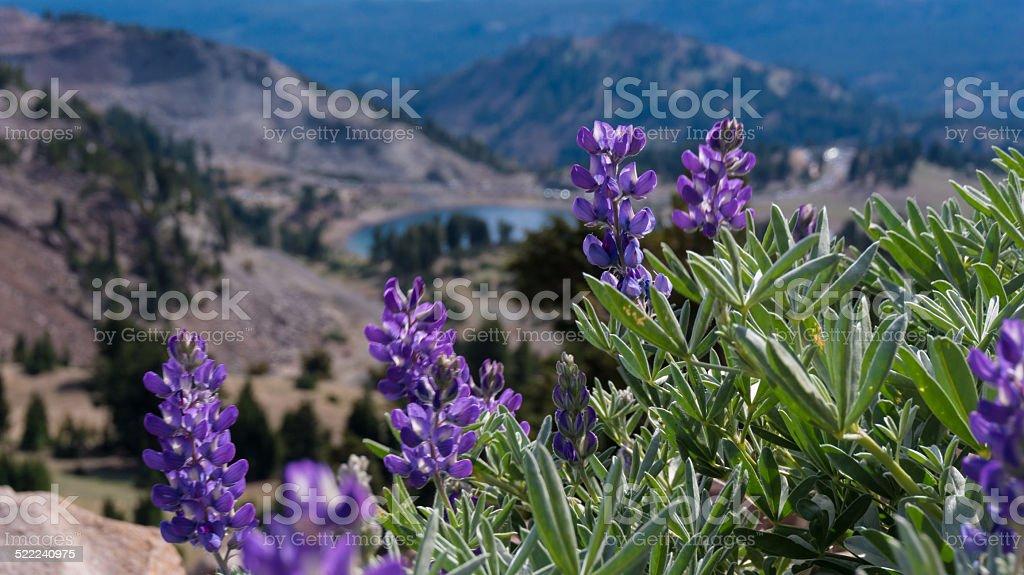 Flower on lassen peak trail stock photo