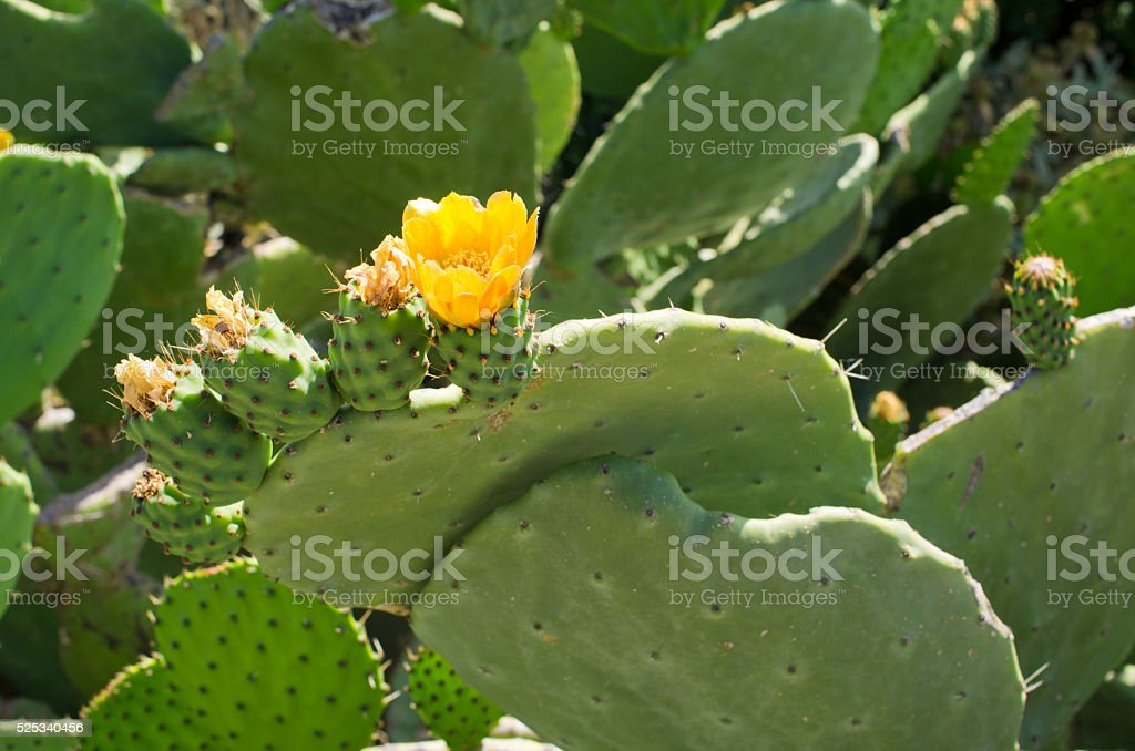 Flower on prickly pear stock photo