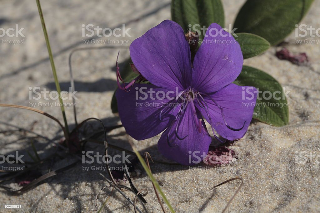 Flower on Sand royalty-free stock photo