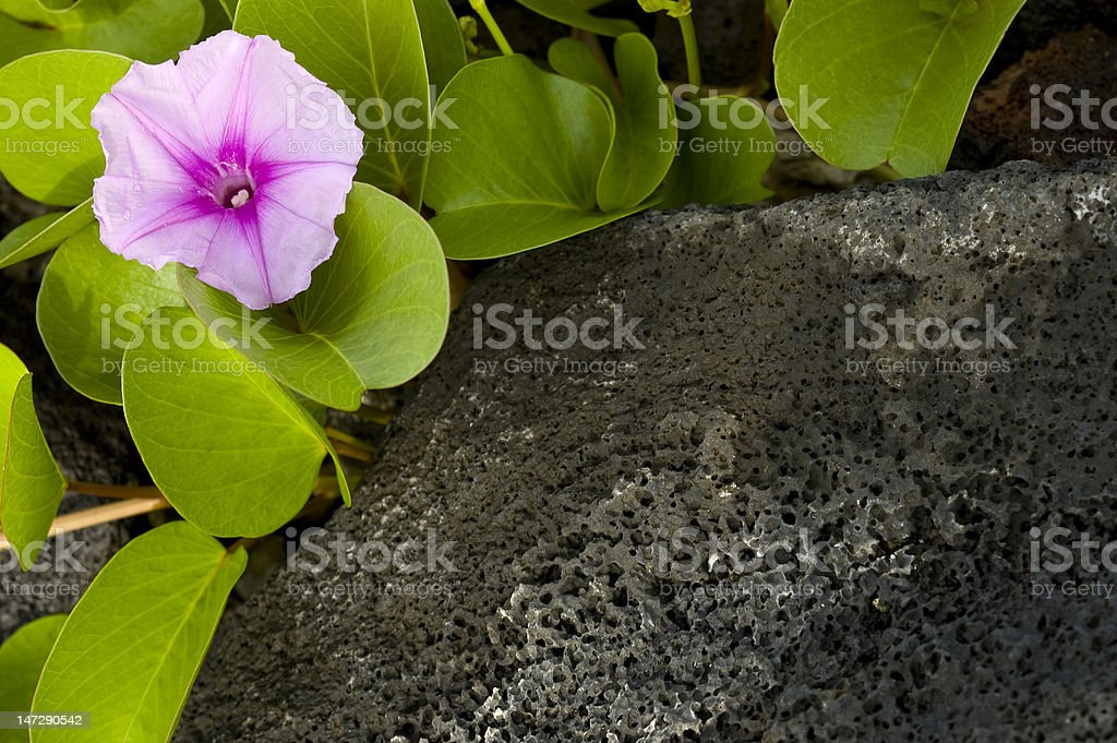 Flower on the rocks. royalty-free stock photo