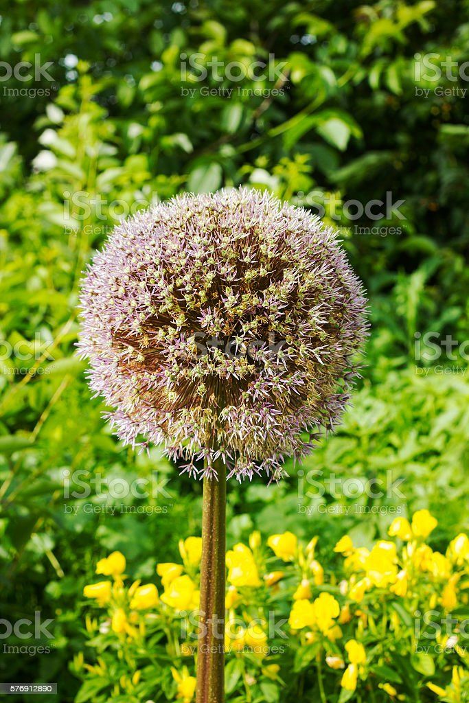Flower onion giant deflorate. Allium giganteum seed head stock photo