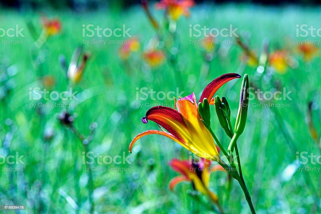 Flower orange day-lily stock photo
