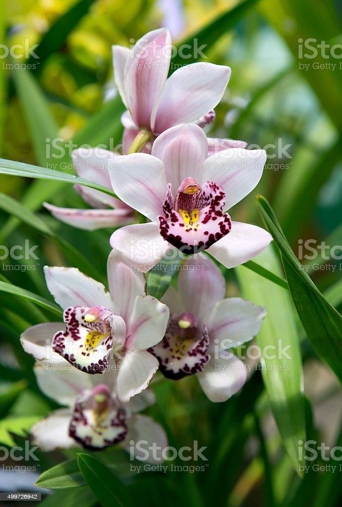Flower Orchid Cattleya stock photo