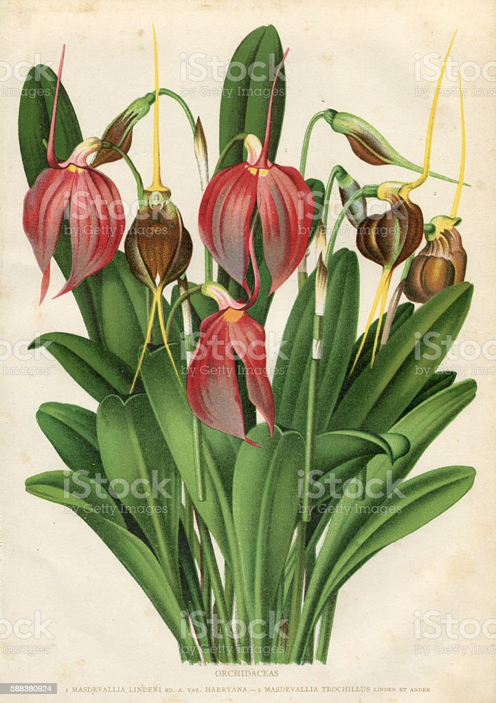 Flower orchid engraving stock photo