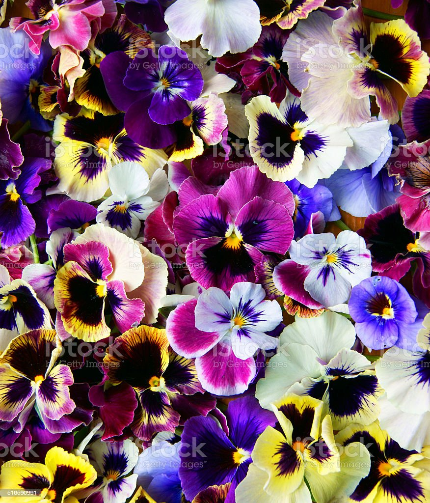 Flower Pansy stock photo