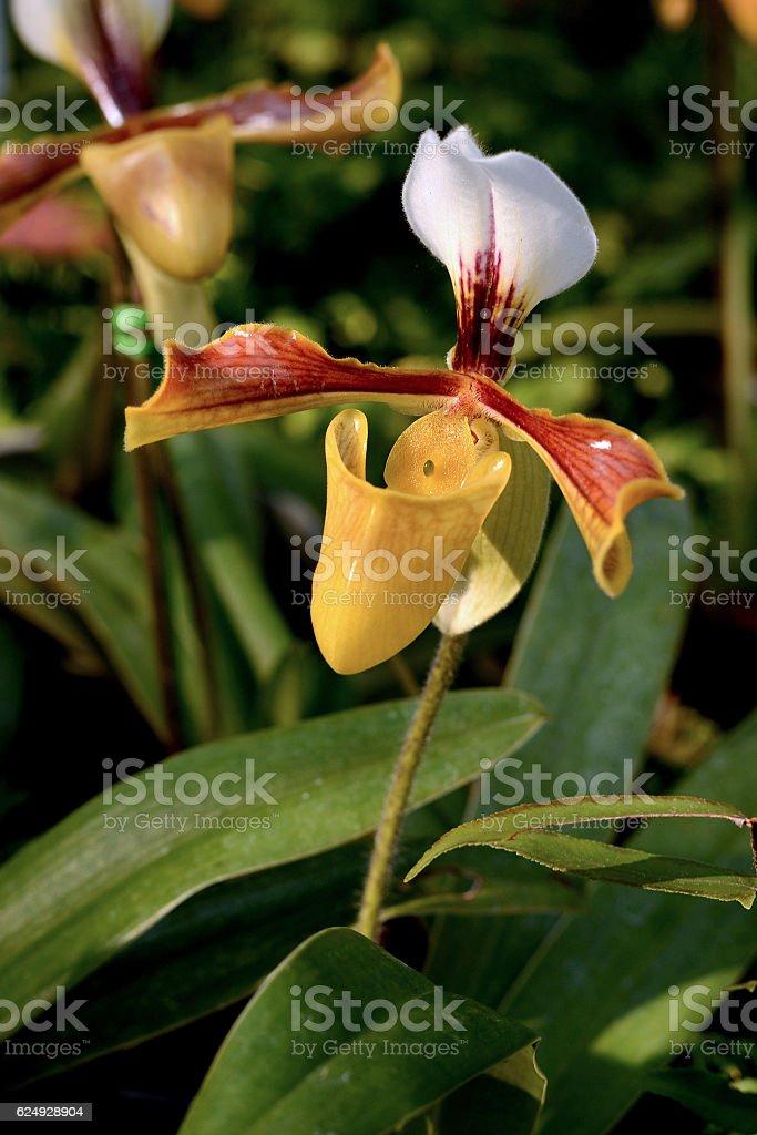 Flower : Paphiopedilum Cultivar, Moth orchid yellow stock photo