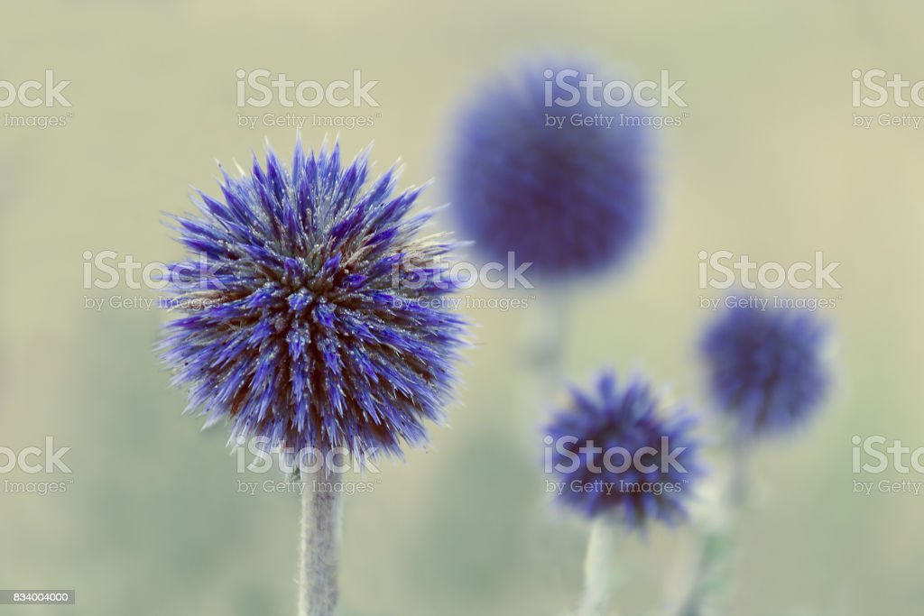 Flower pattern - flowers of blue thistles stock photo