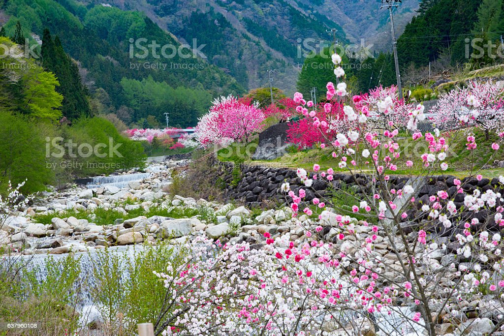 Flower peach and River stock photo