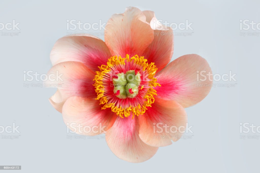 Flower peony an unusual bright colors isolated on a gray background. stock photo