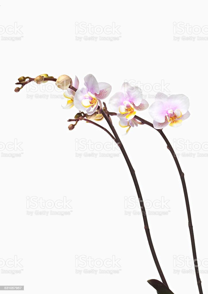 Flower Phalaenopsis Orchid stock photo