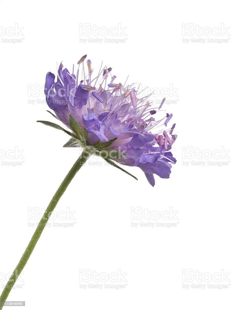 Flower (Knautia arvensis) royalty-free stock photo