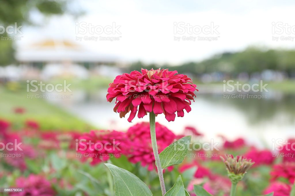 flower pink beautiful. stock photo