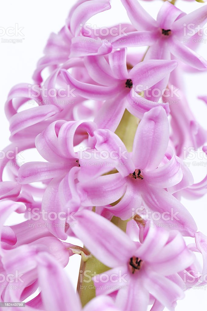 Flower Pink Hyacinth Many Blossoms Close-Up stock photo