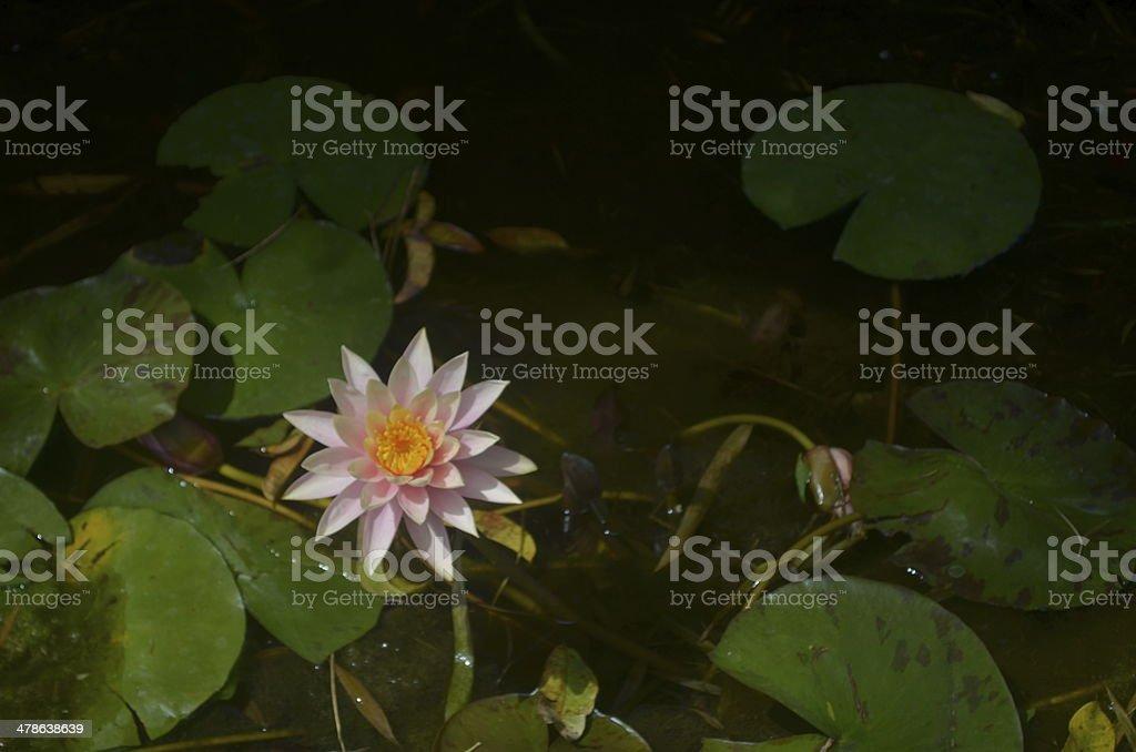 Blume Pond Lizenzfreies stock-foto