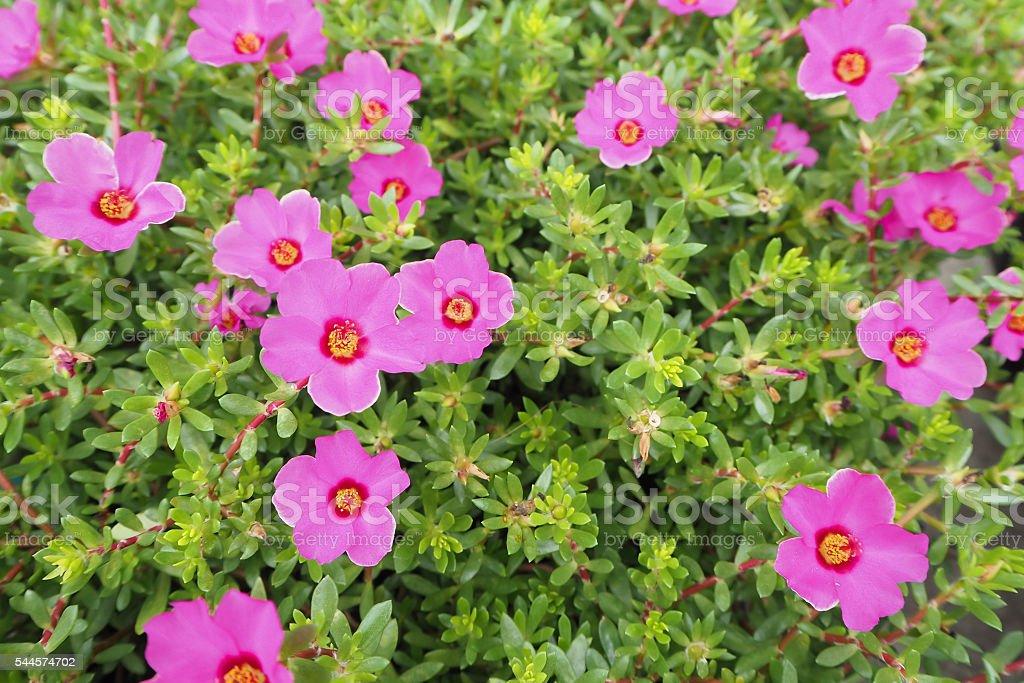 Flower Portulaca oleracea stock photo