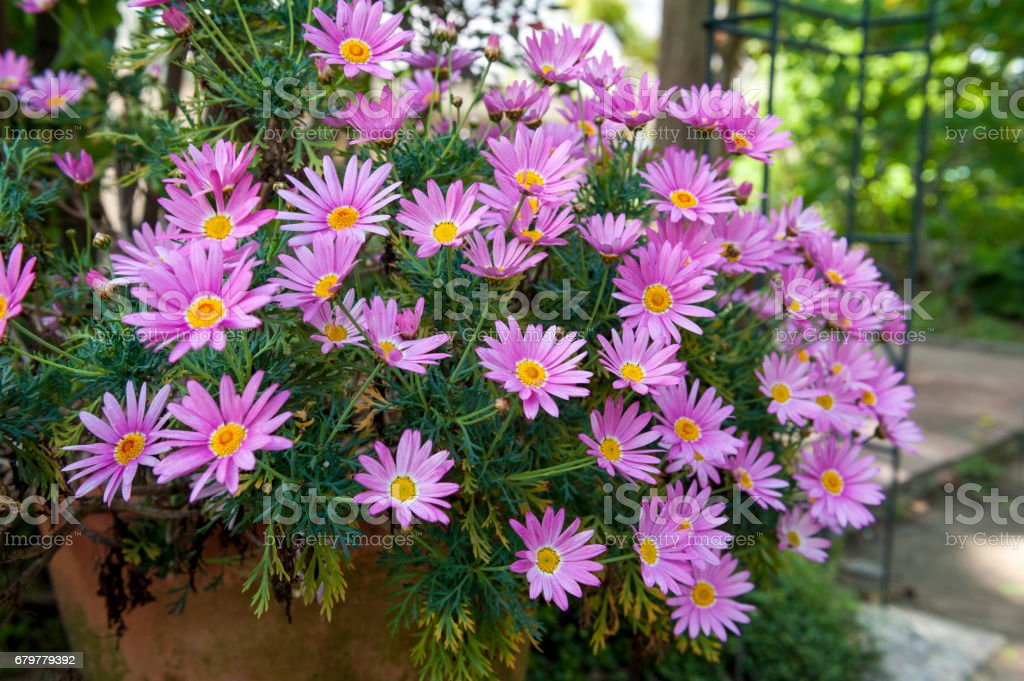 Flower pot of Aster cordifolius - pink flowers during blossom season in botanic garden stock photo