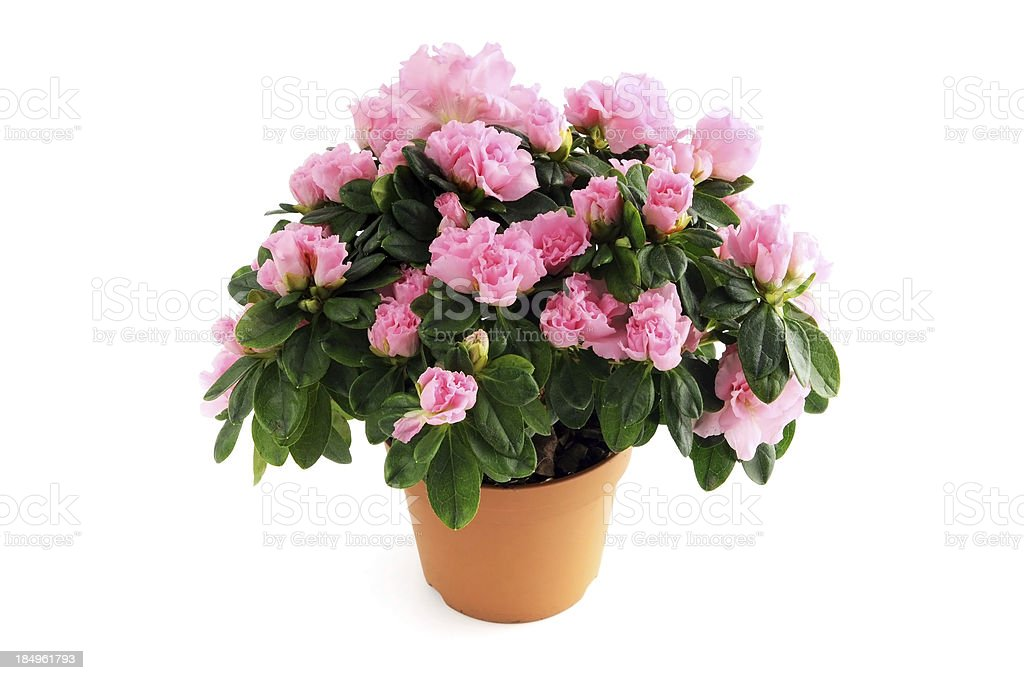 flower pot of pink Azalea (Rhododendron) on isolated background stock photo