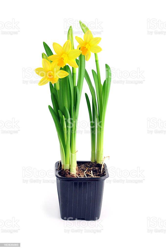 flower pot of yellow daffodil stock photo