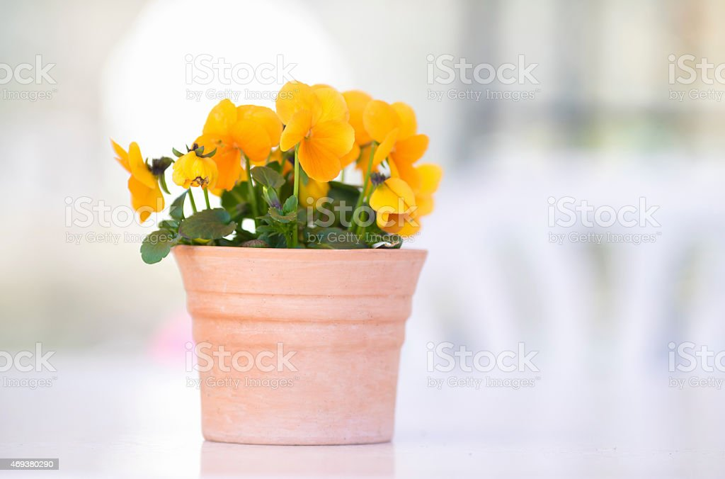 Flower pot with yellow pansies and copyspace stock photo