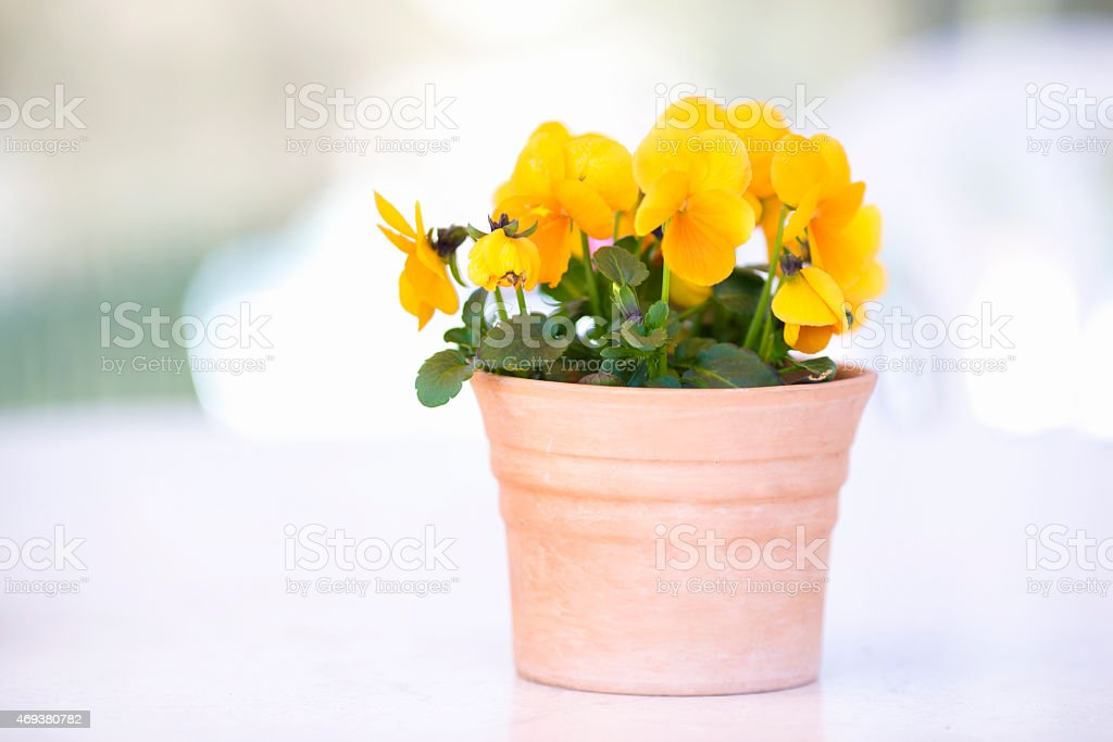 Flower pot with yellow pansies on white stock photo